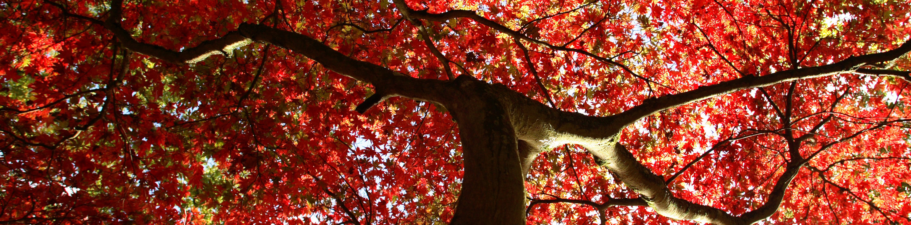 Looking up at an autumnal tree full of red leaves with glimmers of sunlight