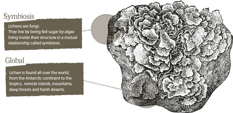 Diagram of lichen. Lichen are funghi, they live by being fed sugar by algae living inside their structure in a mutual relationship called symbosis. Lichen is found all over the world, from the Antarctic continent to the tropics, remote islands, mountains, deep forests and harsh deserts.