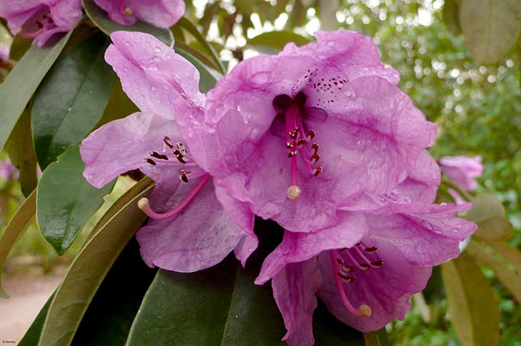 Large pink Rhododendron flowers