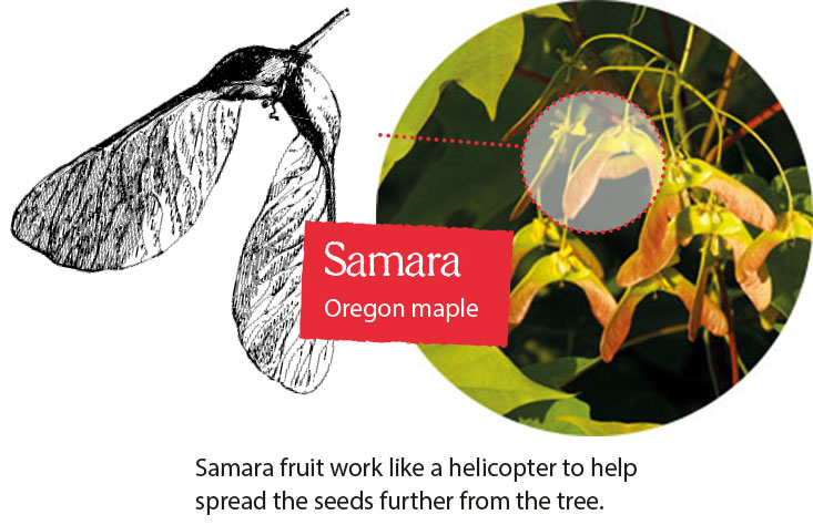 Samara fruit work like a helicopter to help spread the seeds further from the tree.