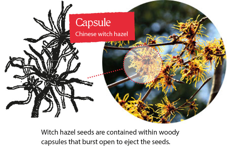 Witch hazel seeds are contained within woody capsules that burst open to eject the seeds.