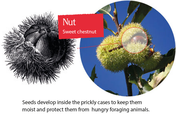 Seeds develop inside the prickly cases to keep them moist and protect them from  hungry foraging animals.