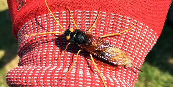 Making friends with the local wildlife; a Giant Wood Wasp Urocerus gigas