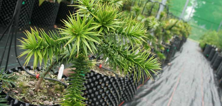 Potted monkey puzzles