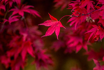 Maples turning red